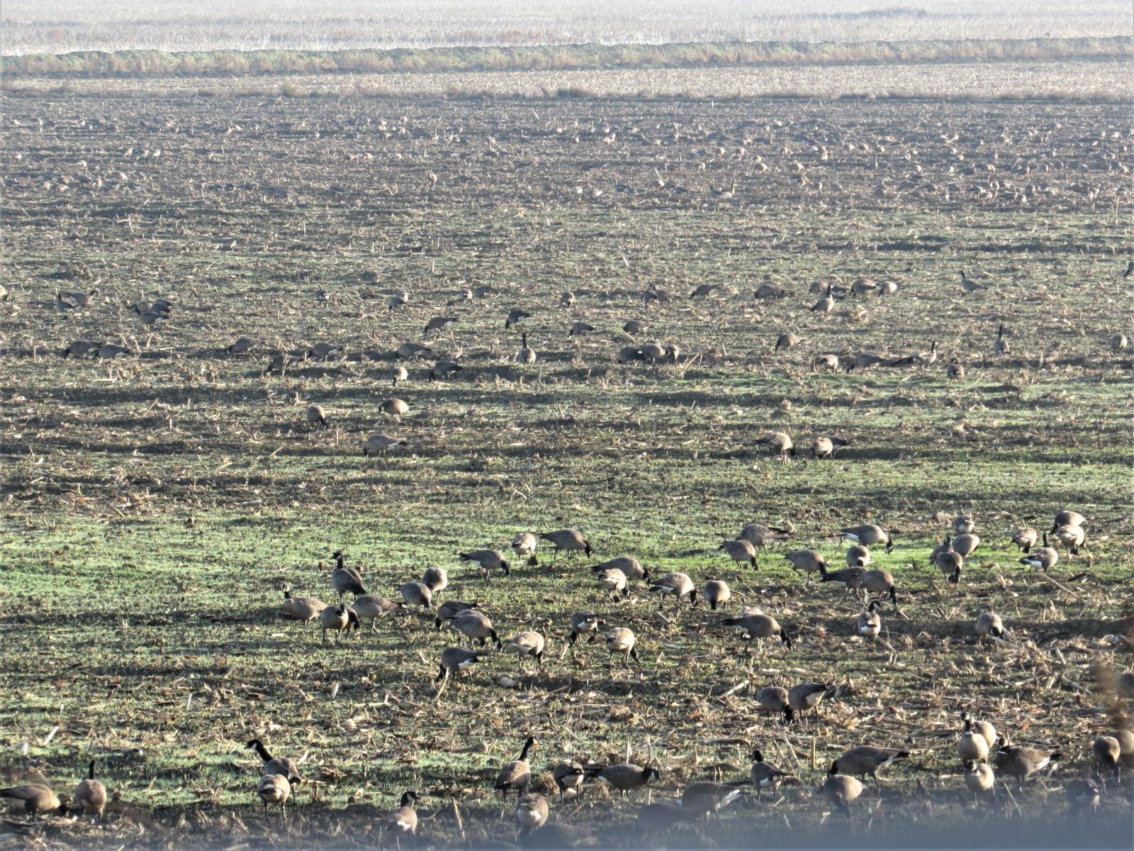 Andrus-island-flock