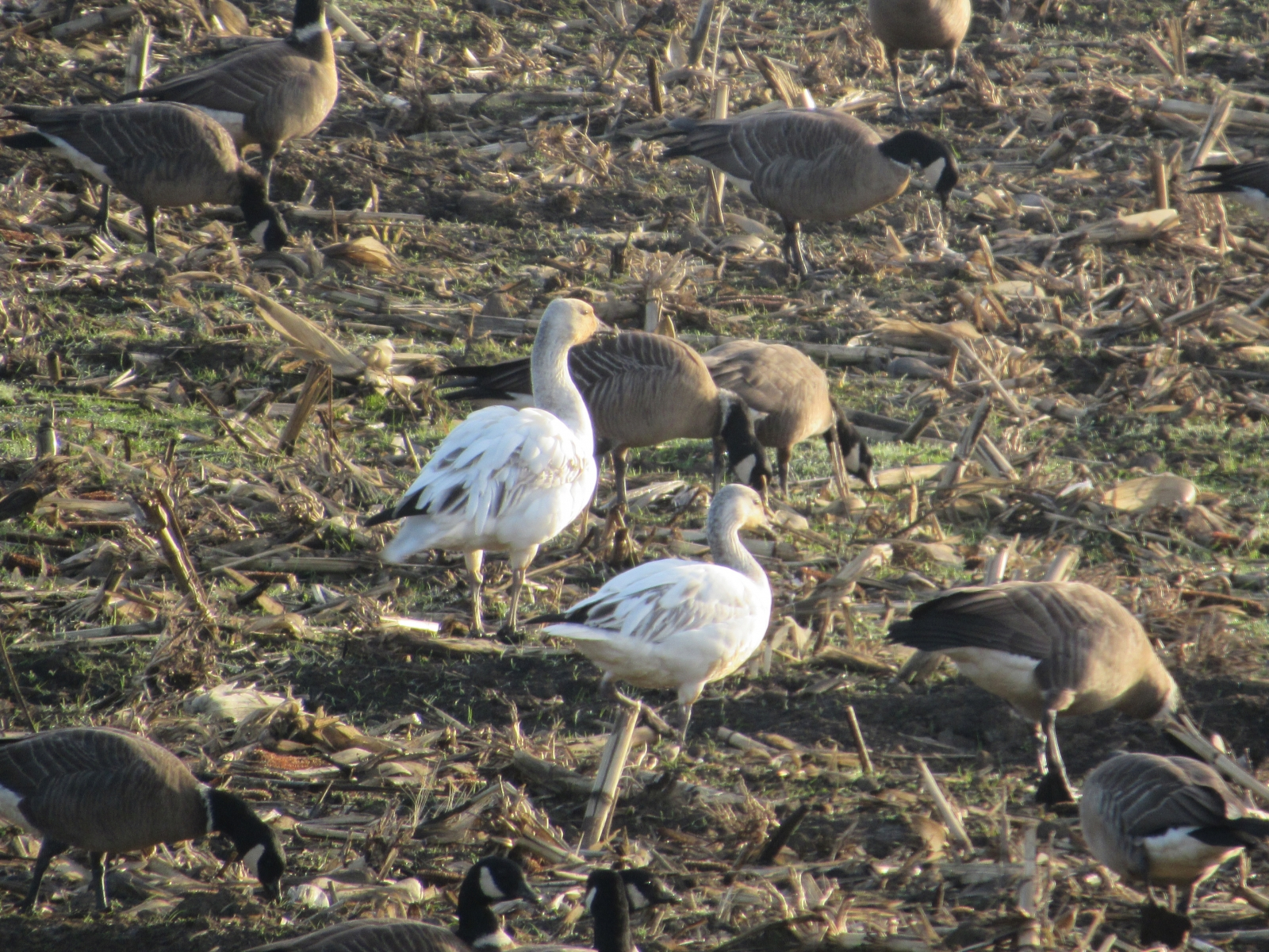 Two-snow-geese