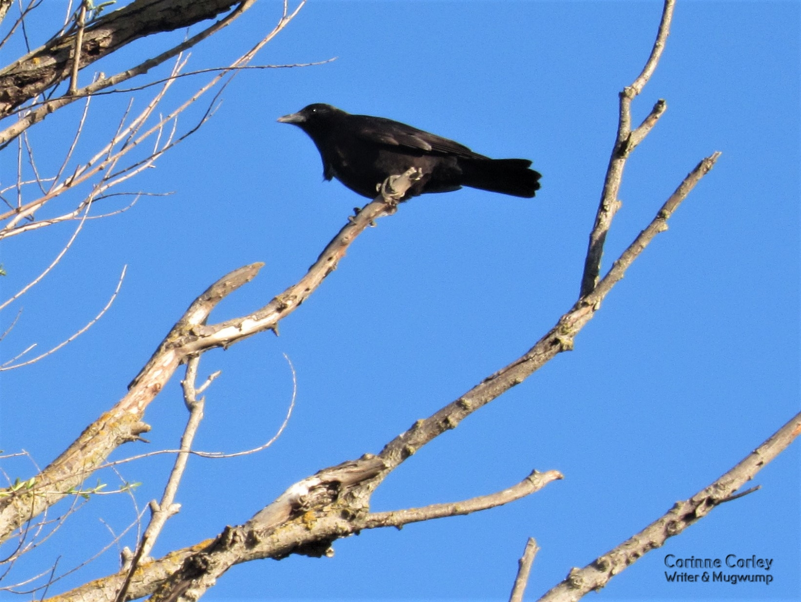 Crow-in-the-blue