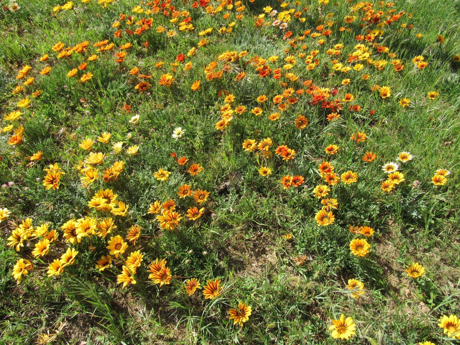 Wild-daisies-abound