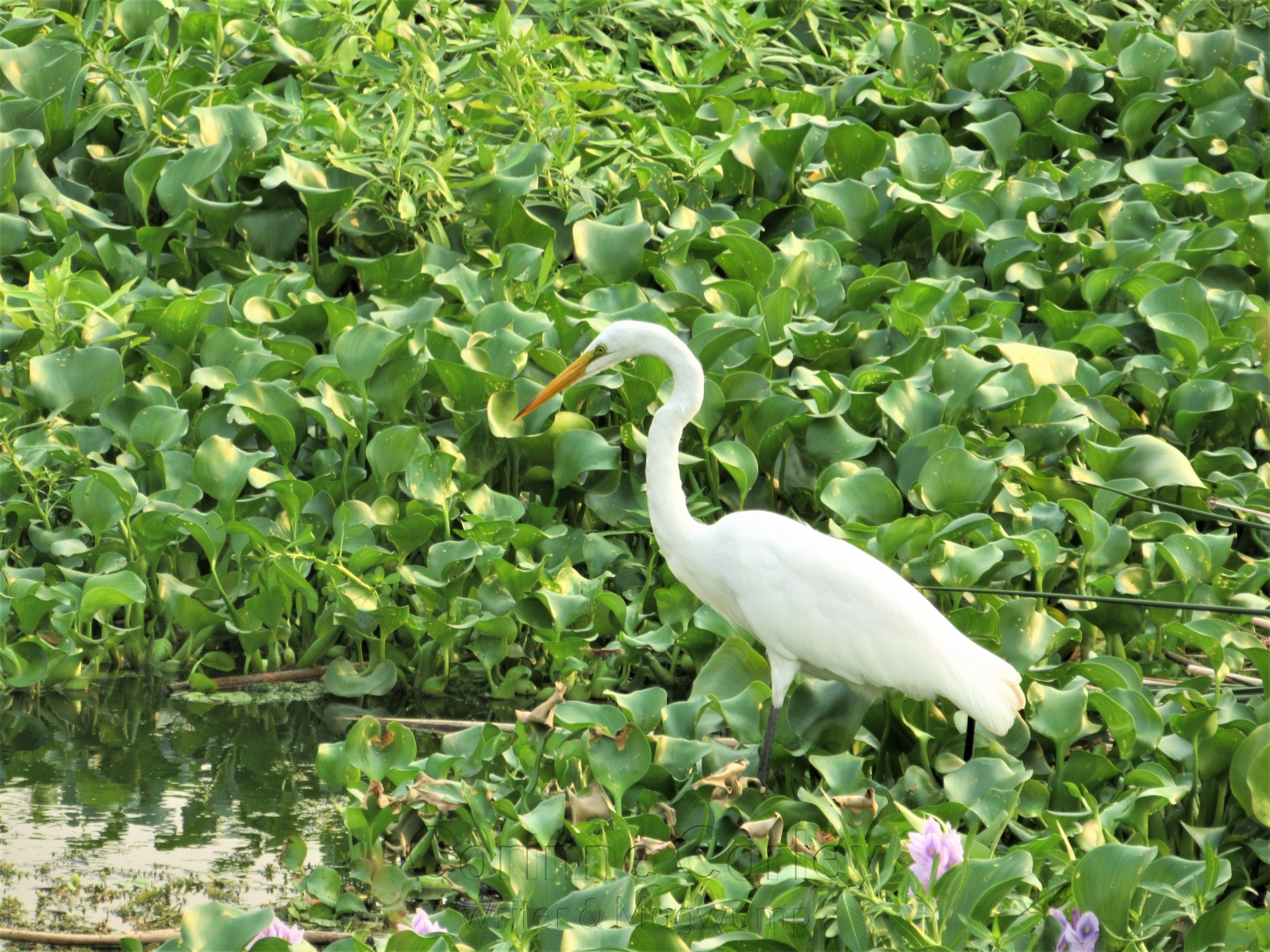 Egret-in-hyacinth