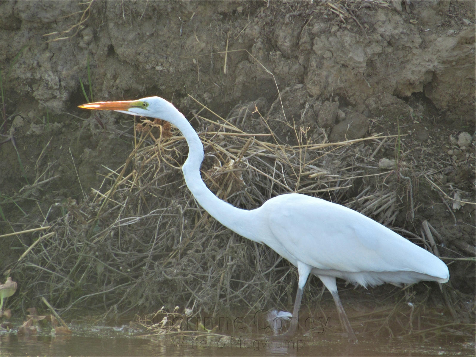 Egret-in-the-Slough
