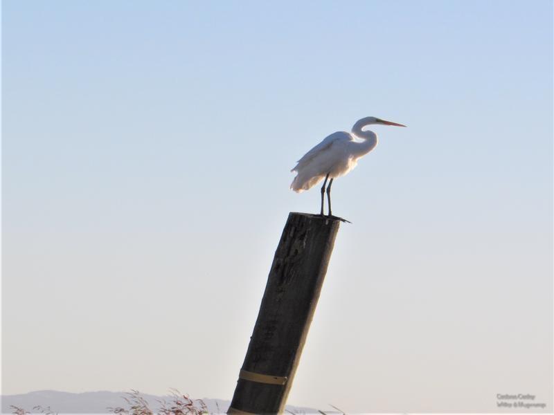 Egret-on-Jackson-Slough-800x600