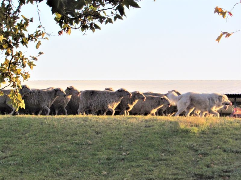 Escape-of-the-Sheep-Andrus-Island-800x600