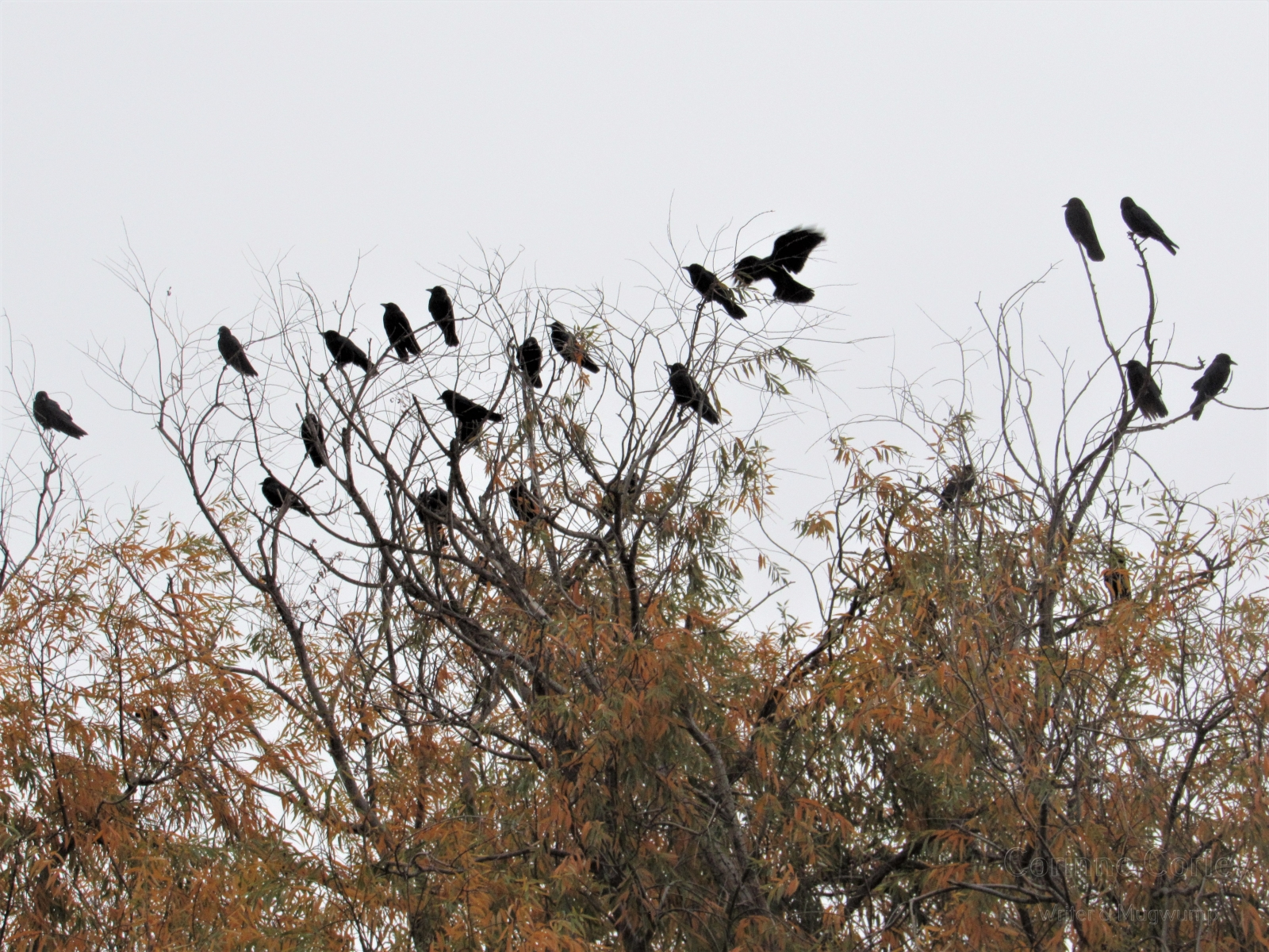 Crows-10