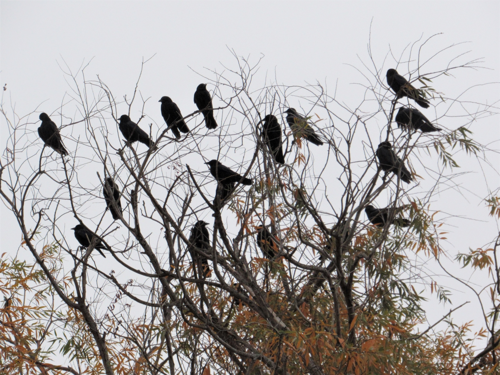 Crows-11