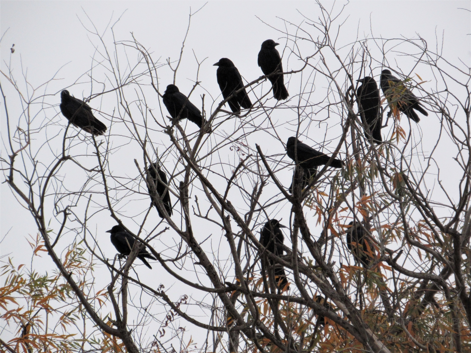 Crows-12