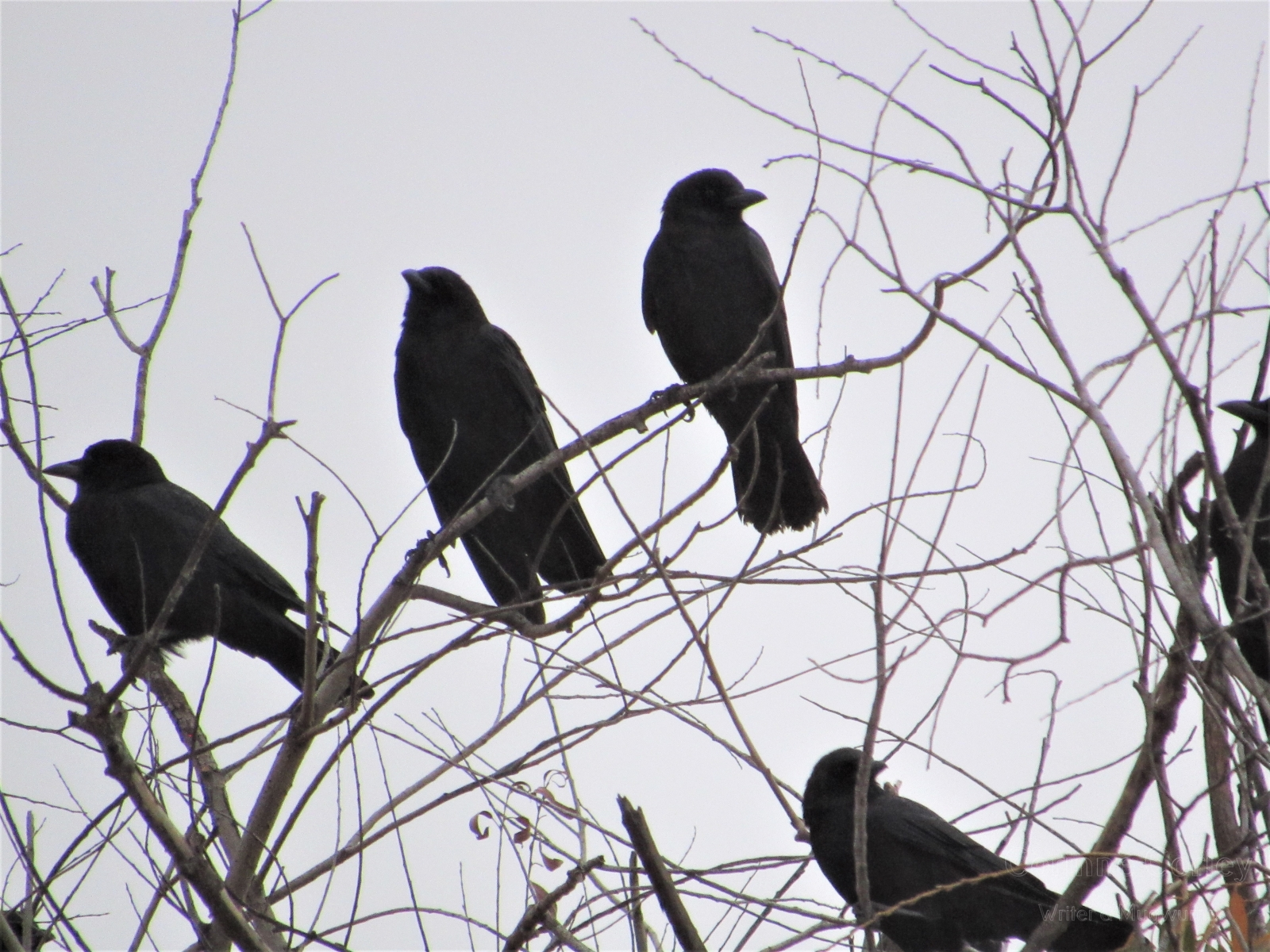 Crows-13