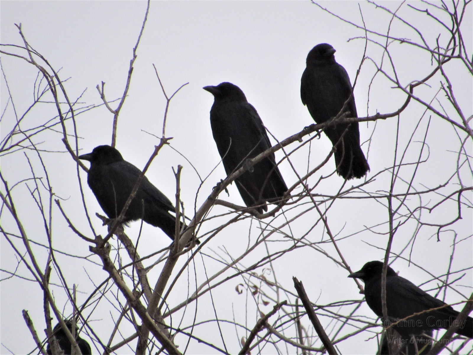 Crows-14