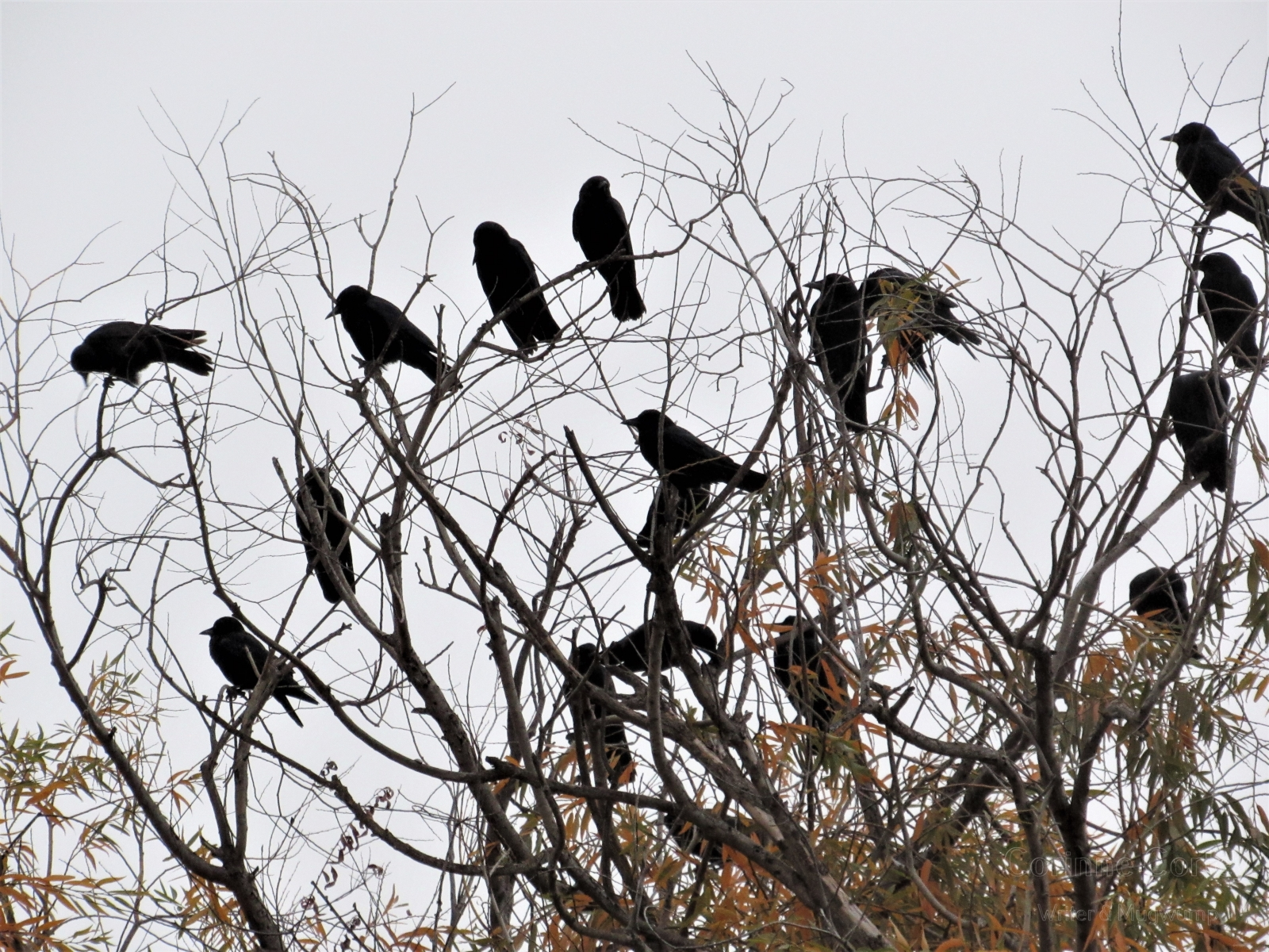 Crows-15