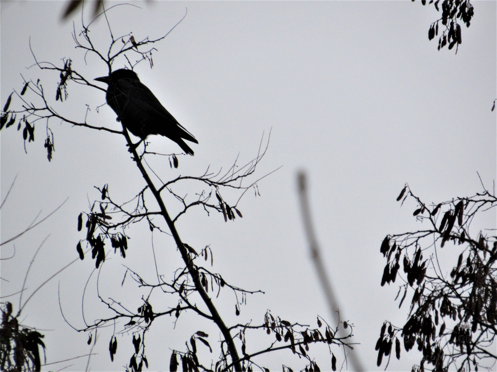 Crows-16