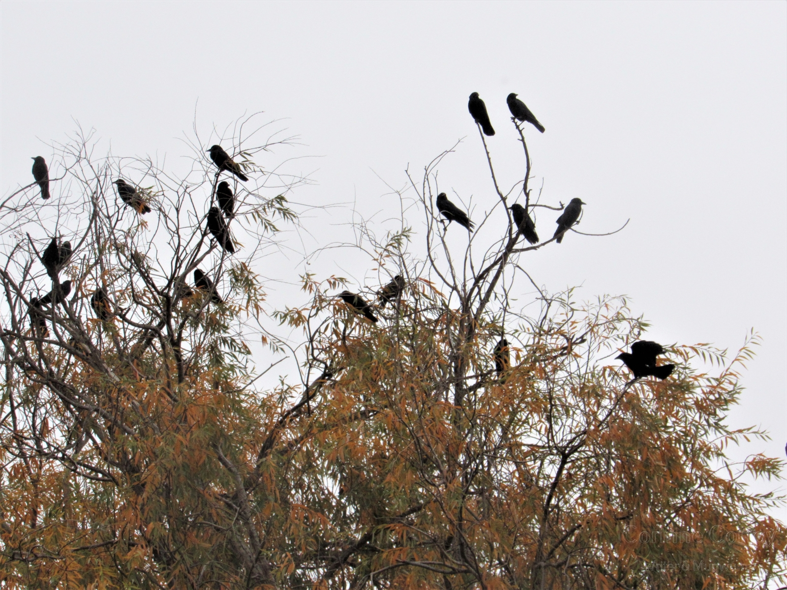 Crows-17