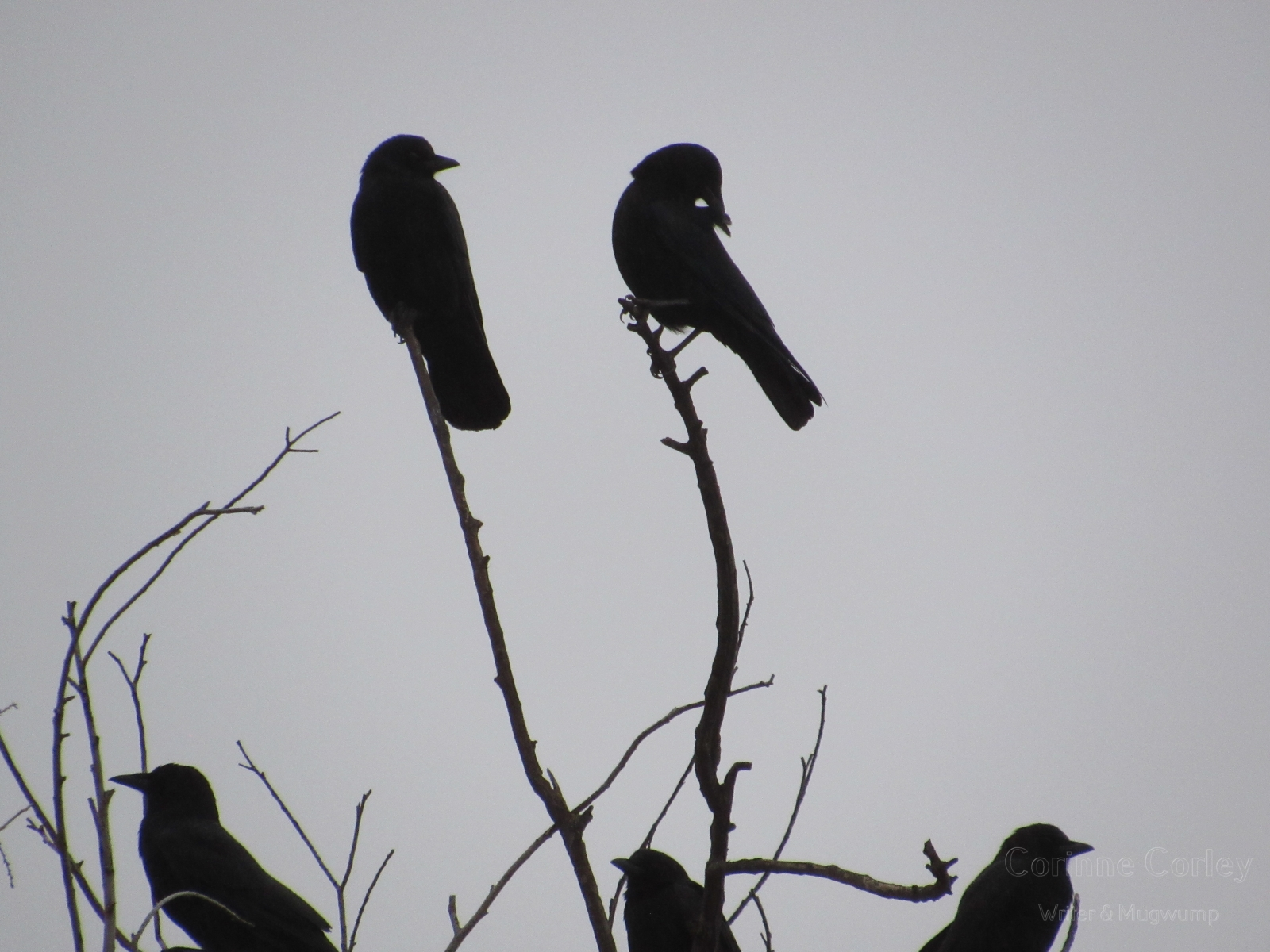 Crows-18