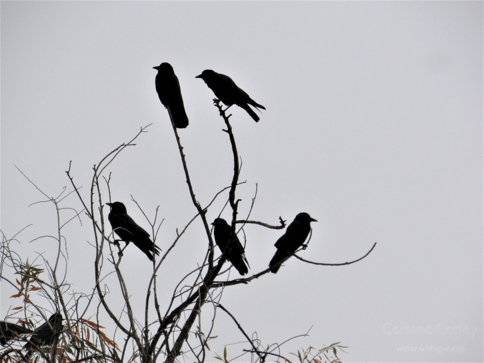 Crows-19