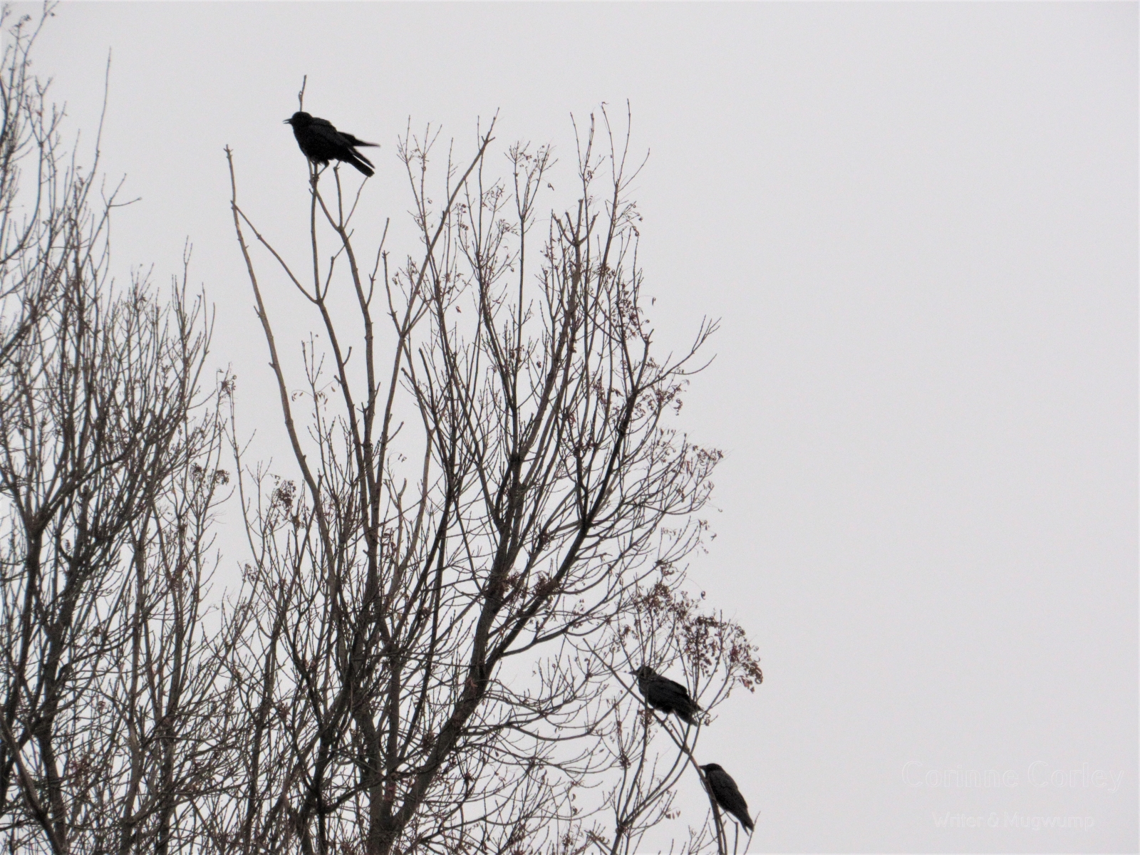 Crows-21