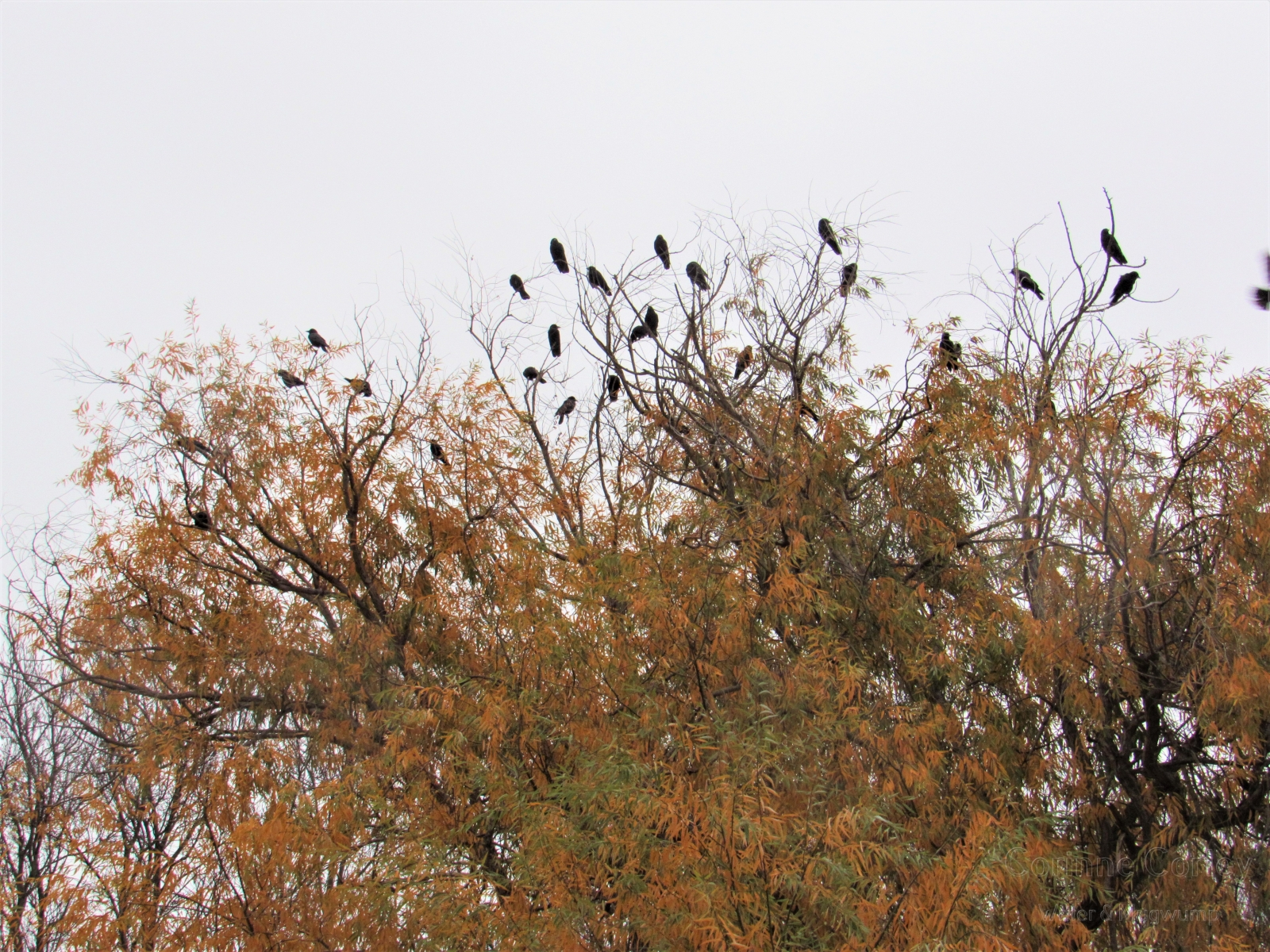 Crows-25