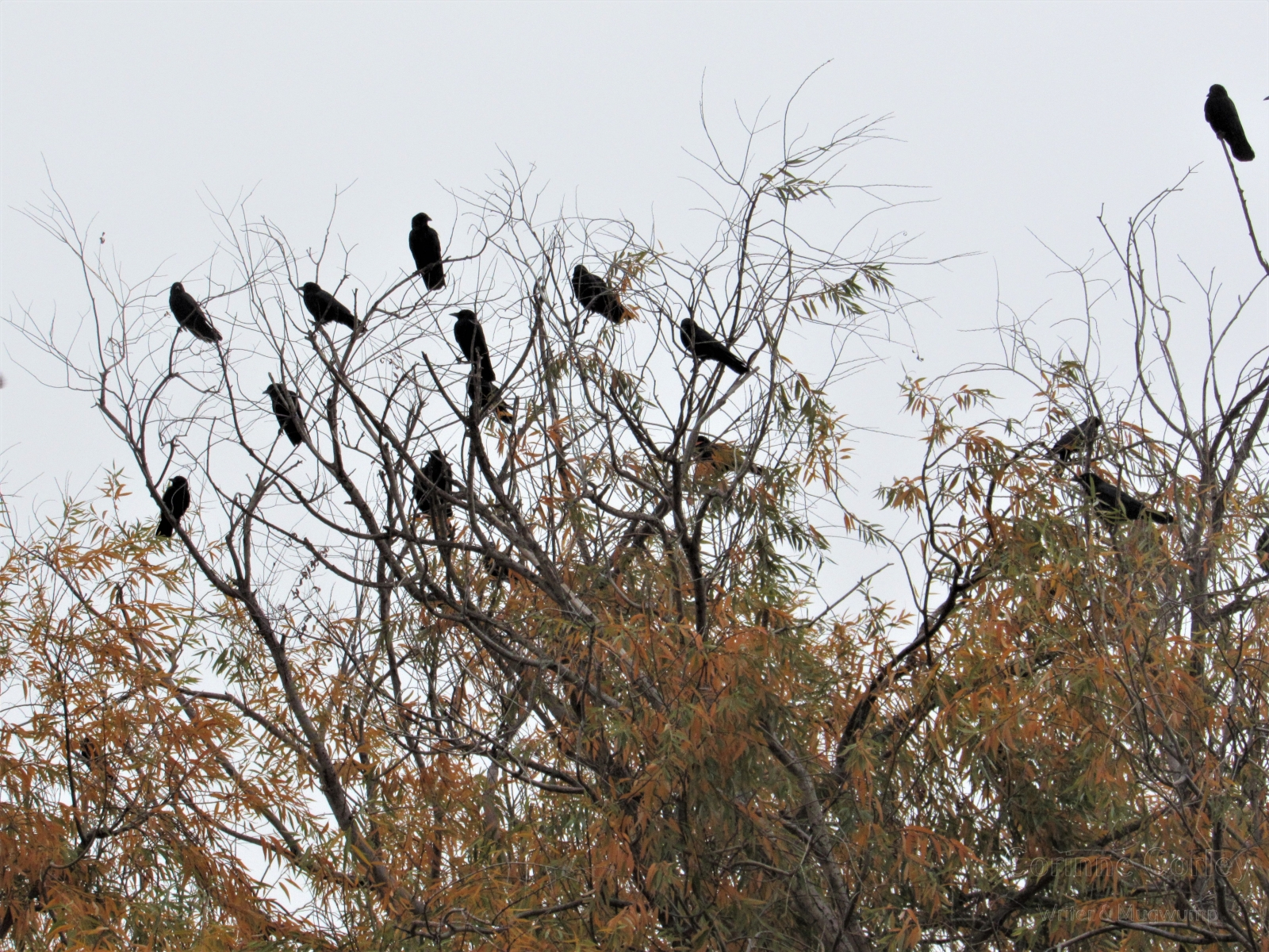 Crows-3