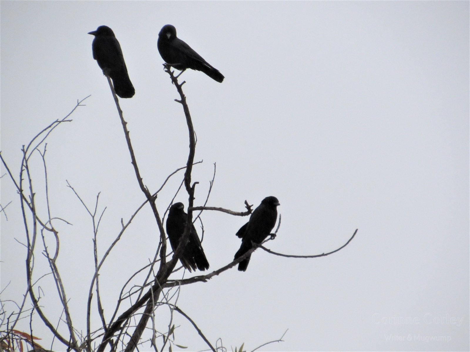 Crows-4