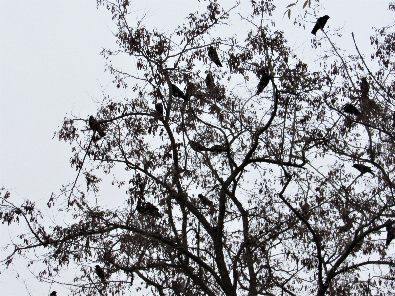 Crows-6