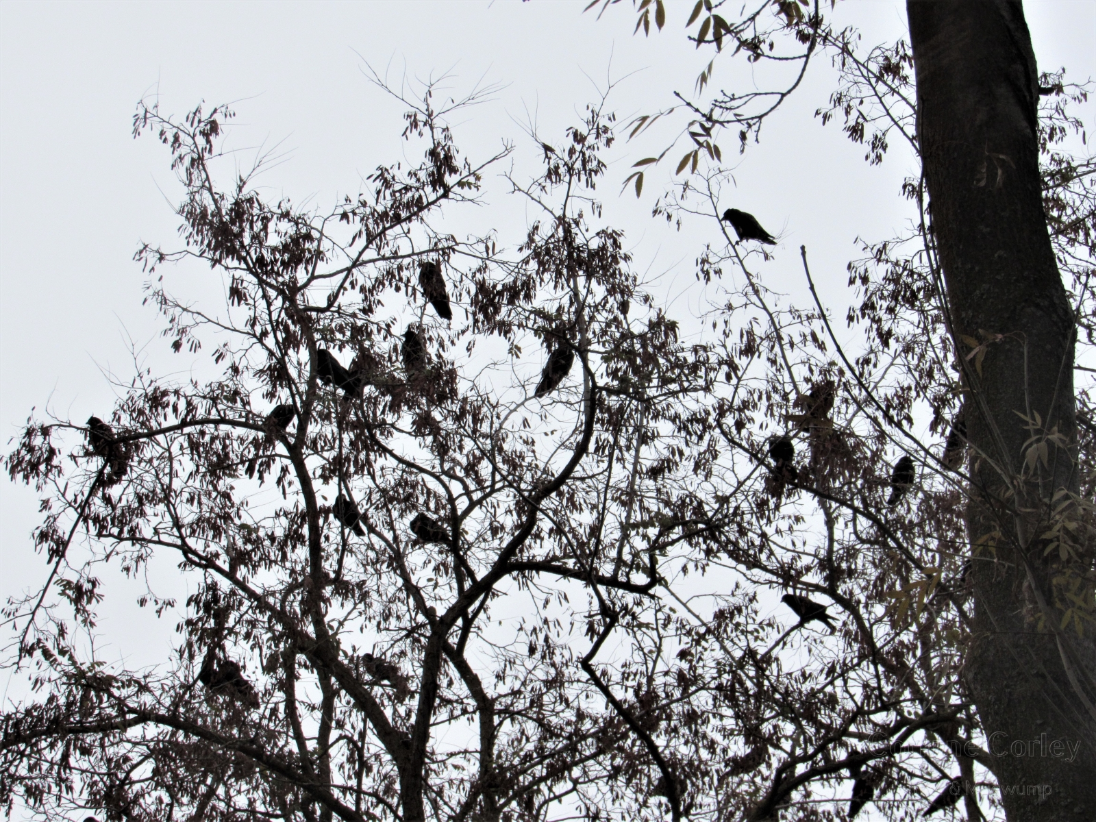 Crows-7