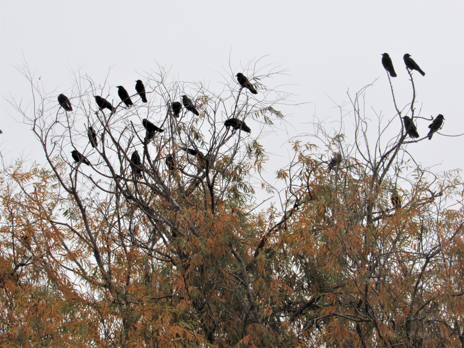 Crows-9