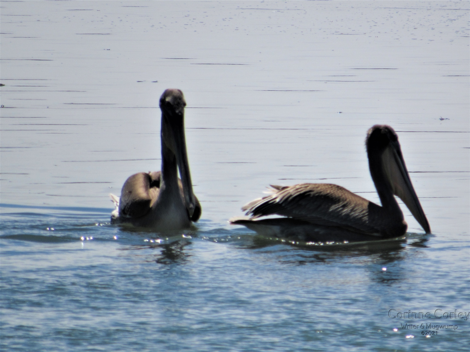 1_Two-pelicans