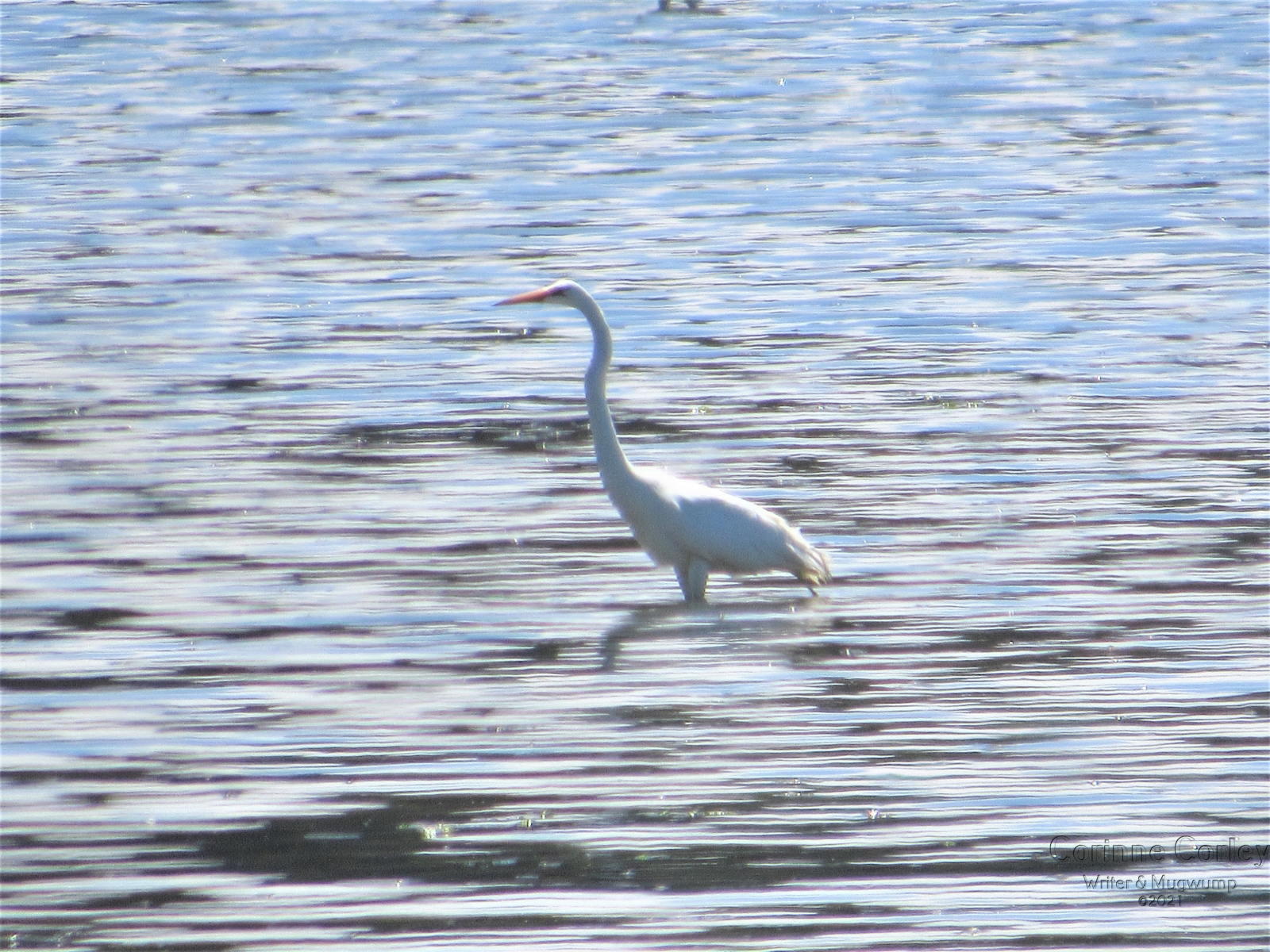 Egret-in-the-shallows