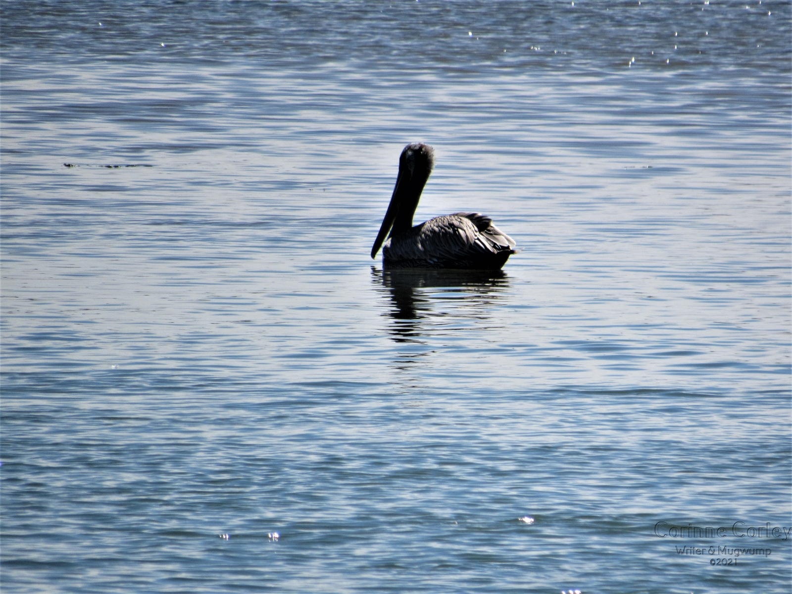 Pelican-and-Reflection