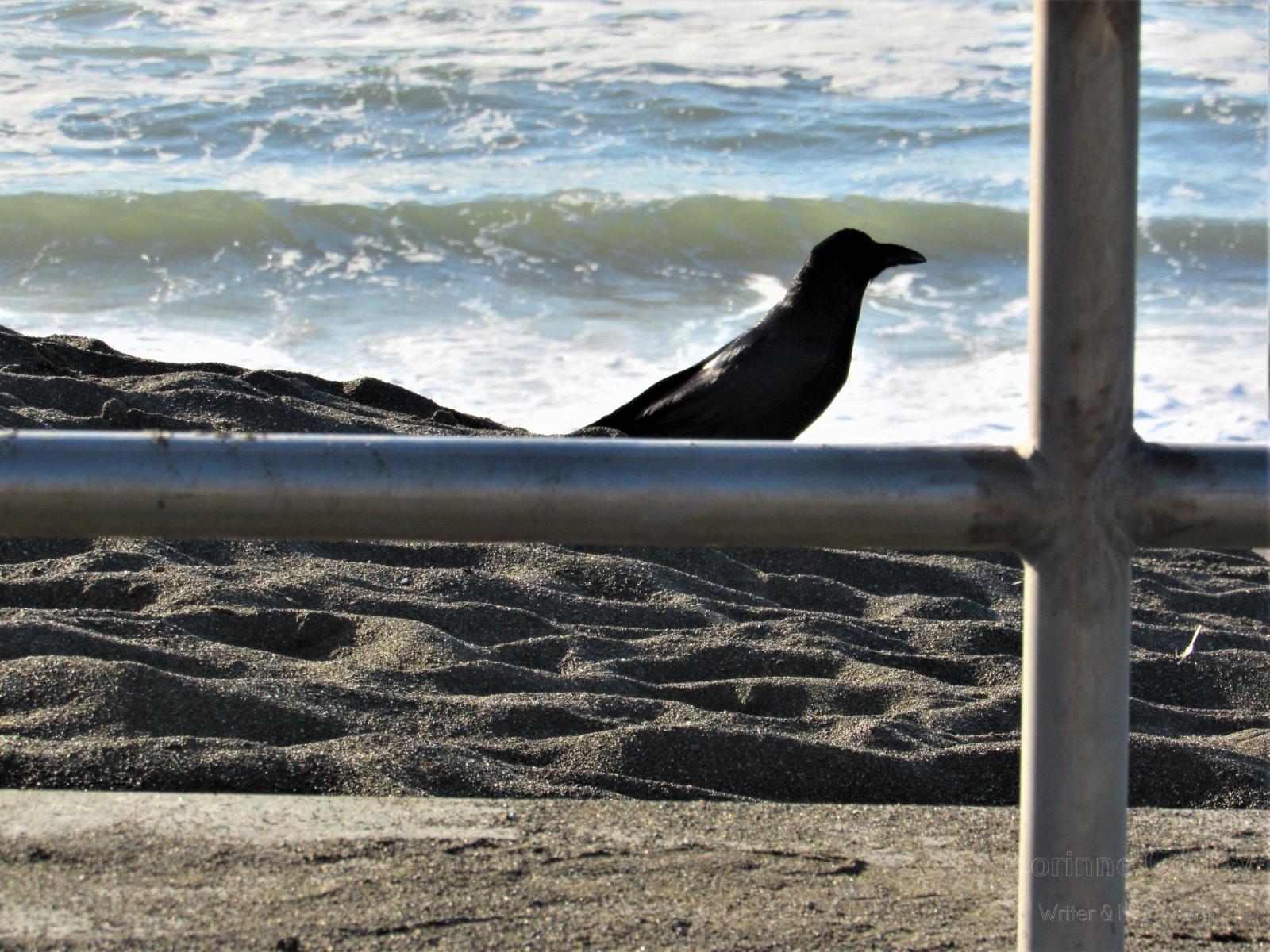 Beach-crow