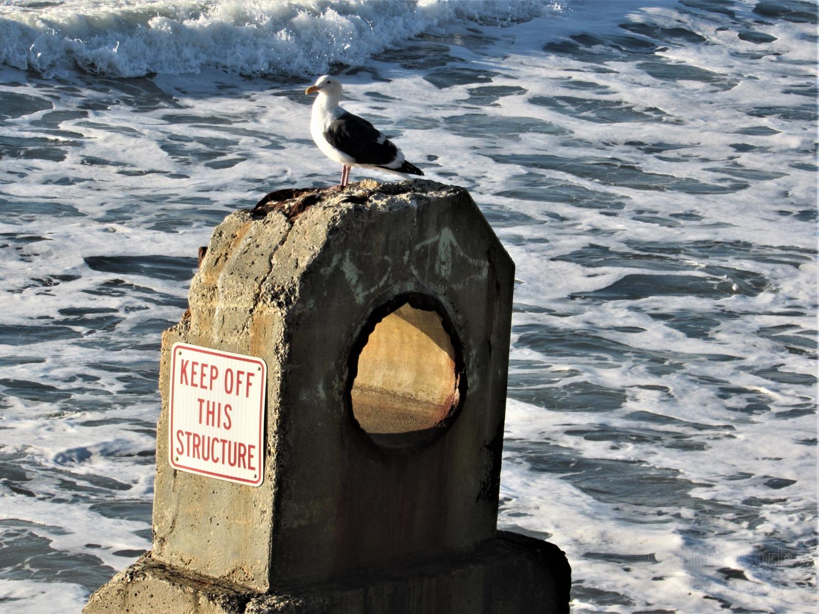 Rebel seagull