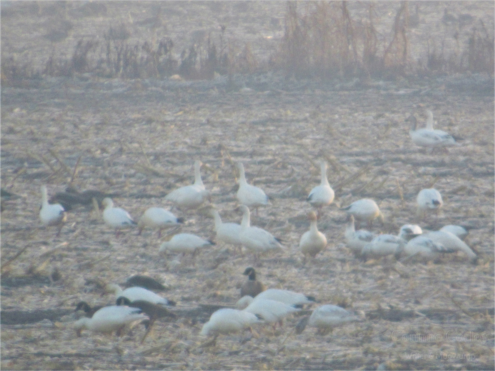 Low-fog-and-snow-geese-Copy-Copy