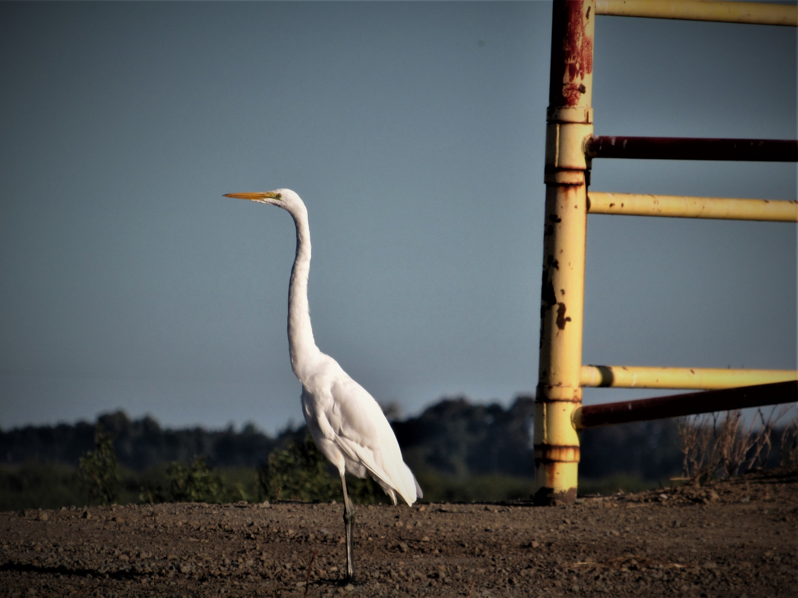 Egret-beside-the-rusty-gate