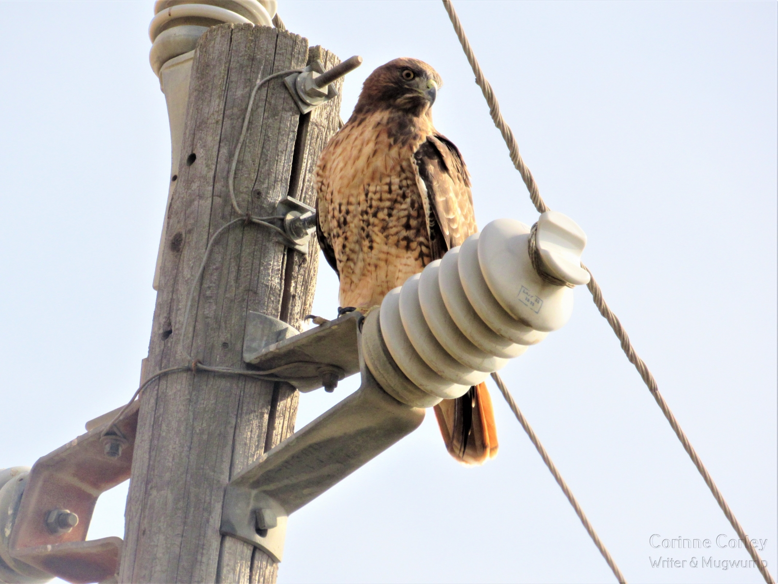 Red-tailed-hawk-on-Jackson-Slough