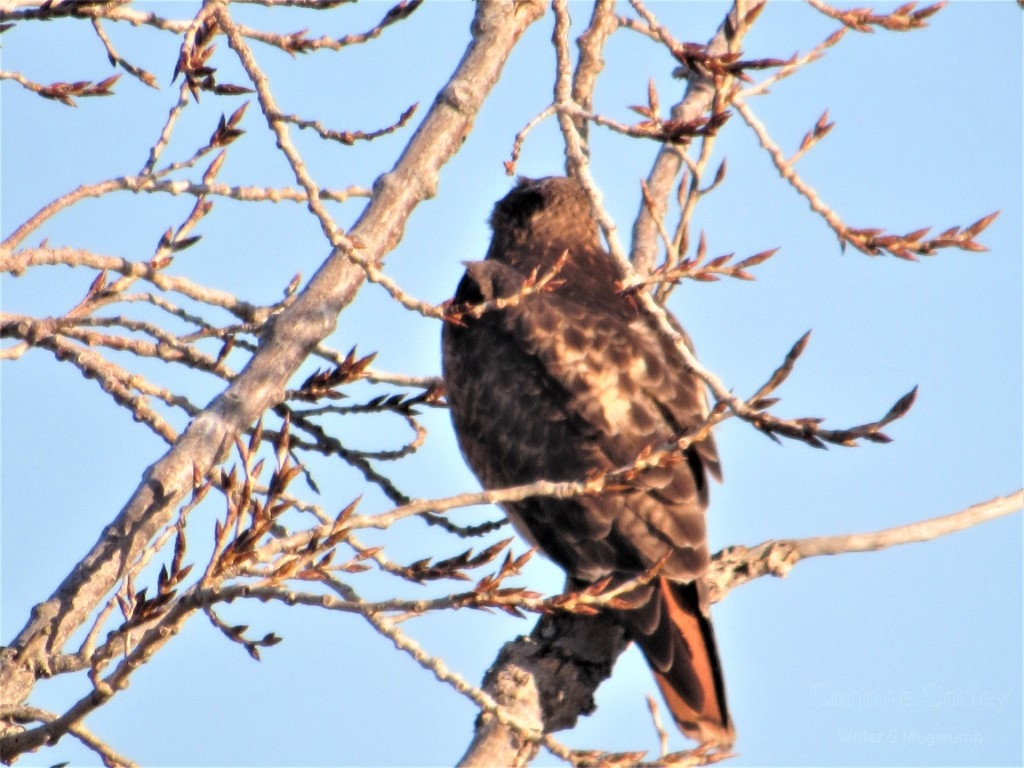 Close-up-shot-of-the-redtail-Medium