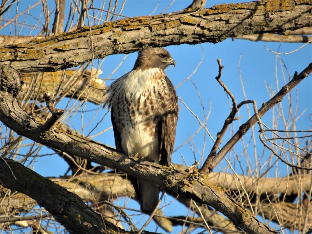 Hawk-in-the-tree-on-Jackson-Slough-Medium