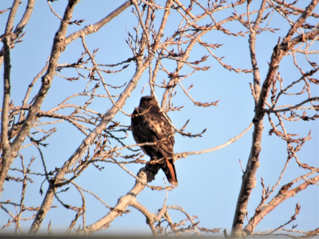 Showing-off-his-redtail-Medium