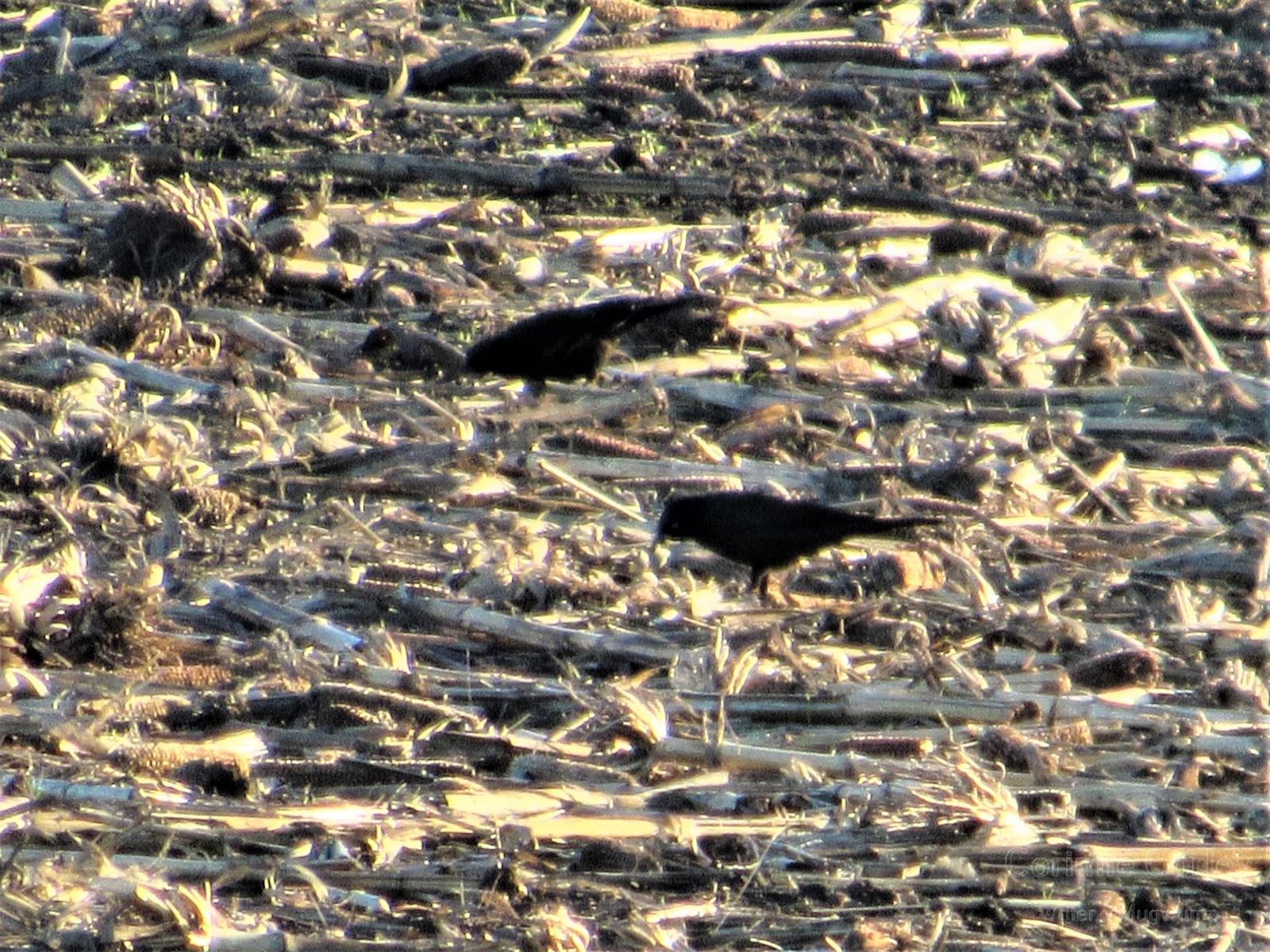 Blackbird-in-the-stubbefield