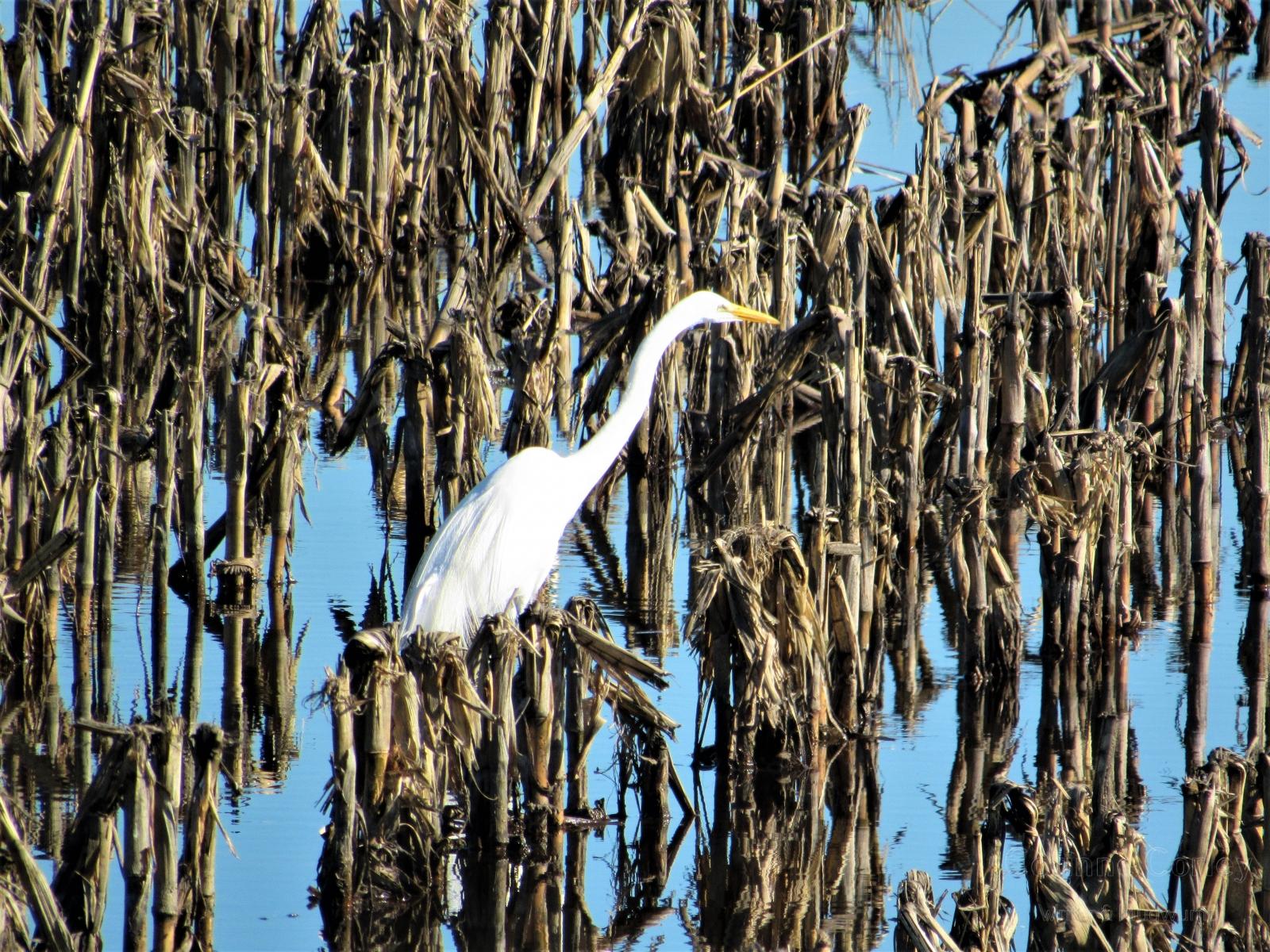 Egret-in-reeds-2