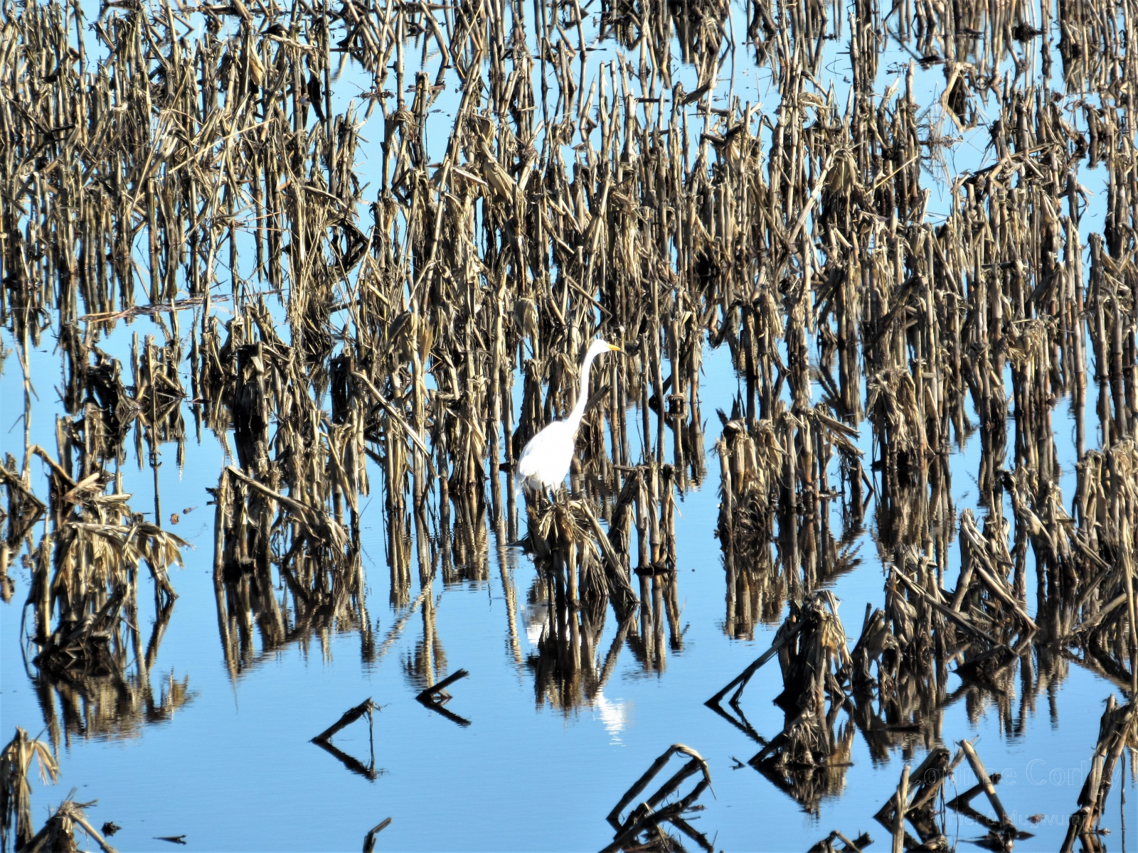 Egret-surrounded-by-reeds