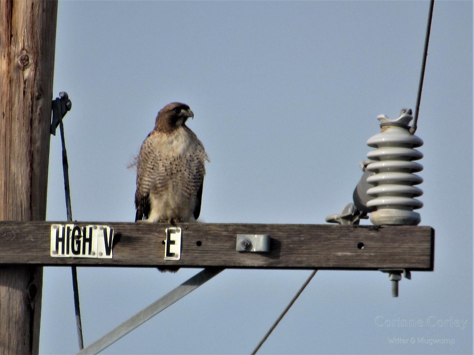 Hawk-in-profile