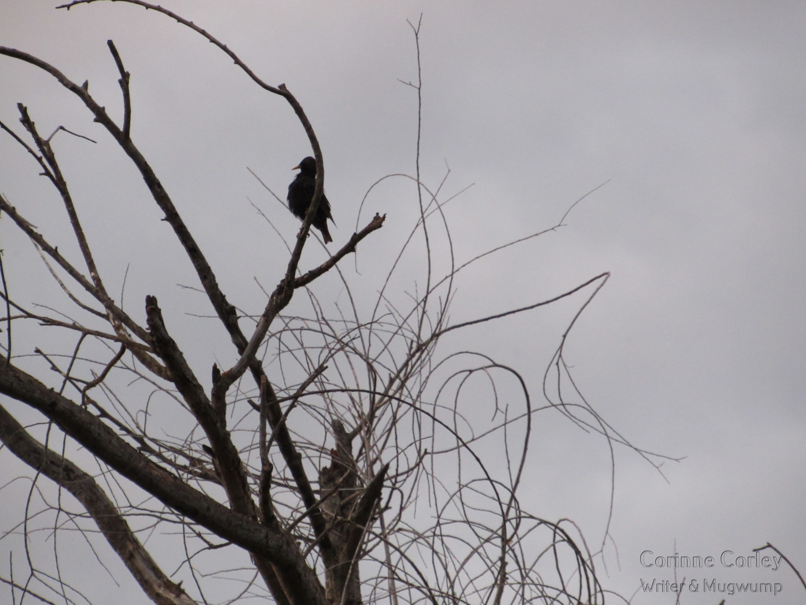 Blackbird-in-the-tree