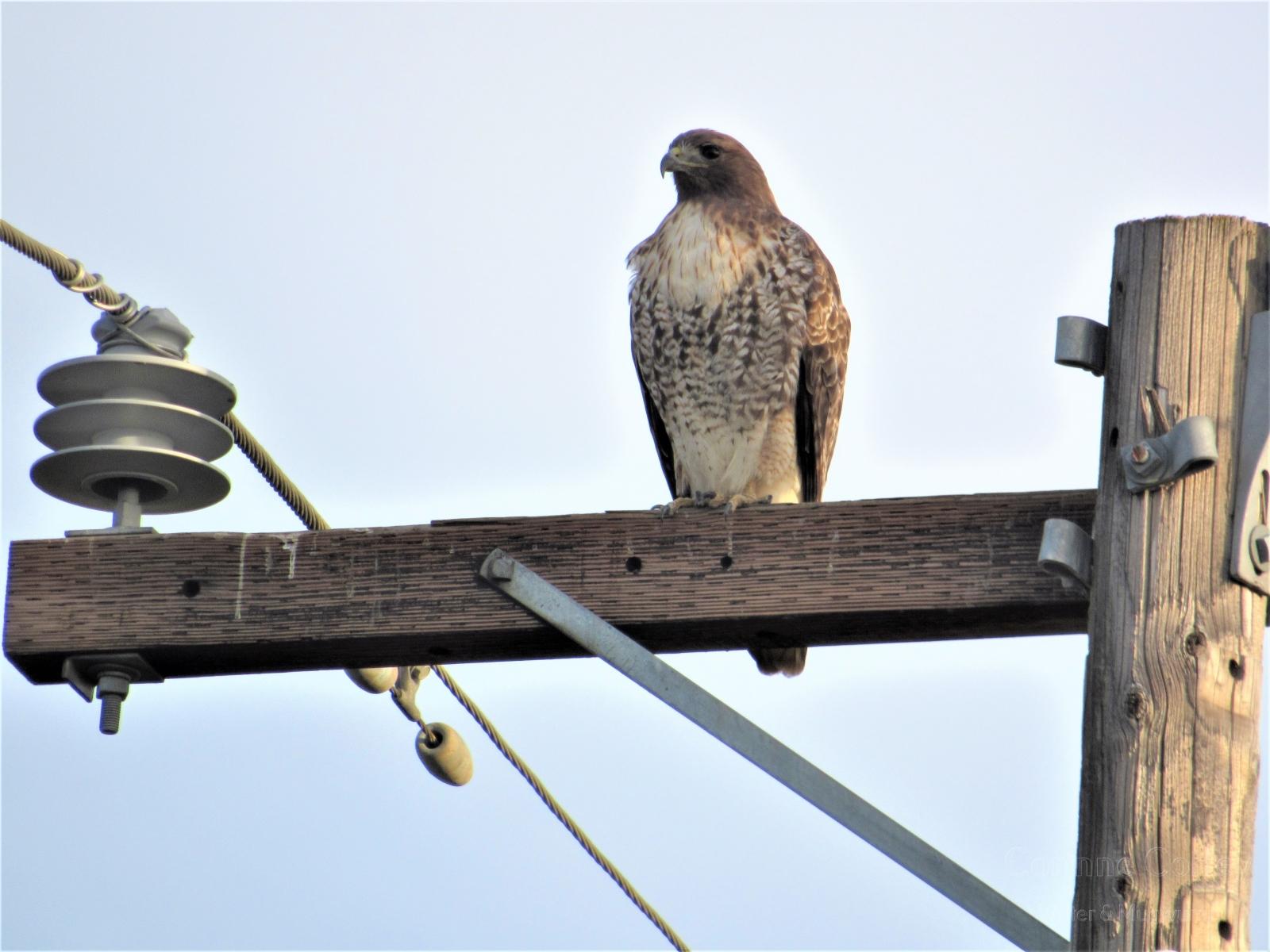 Marchhawk