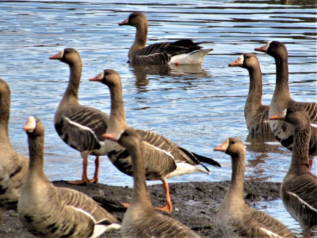 Andrus-island-geese-Medium