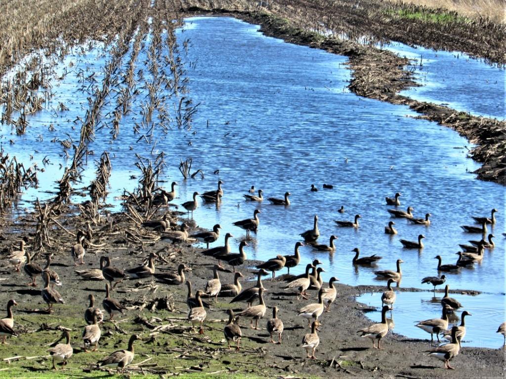 Brown-geese-in-a-flooded-field-Medium