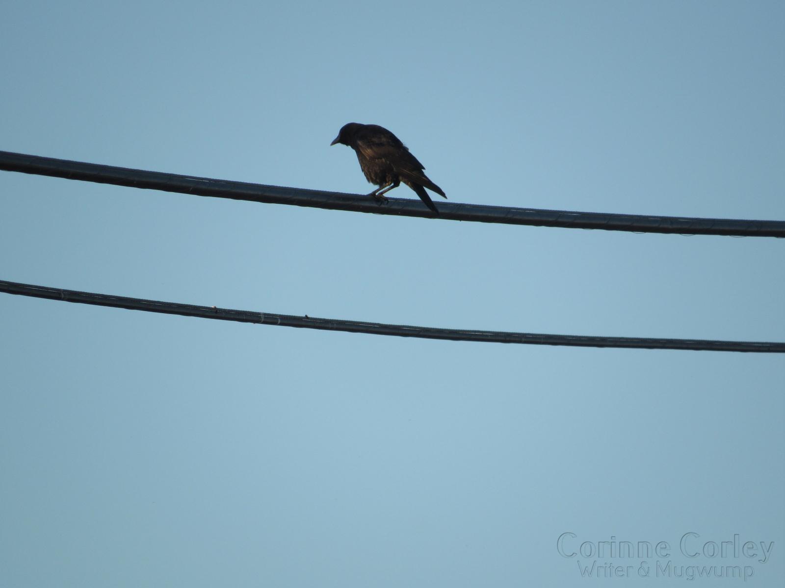 Blackbird-in-the-blue-sky