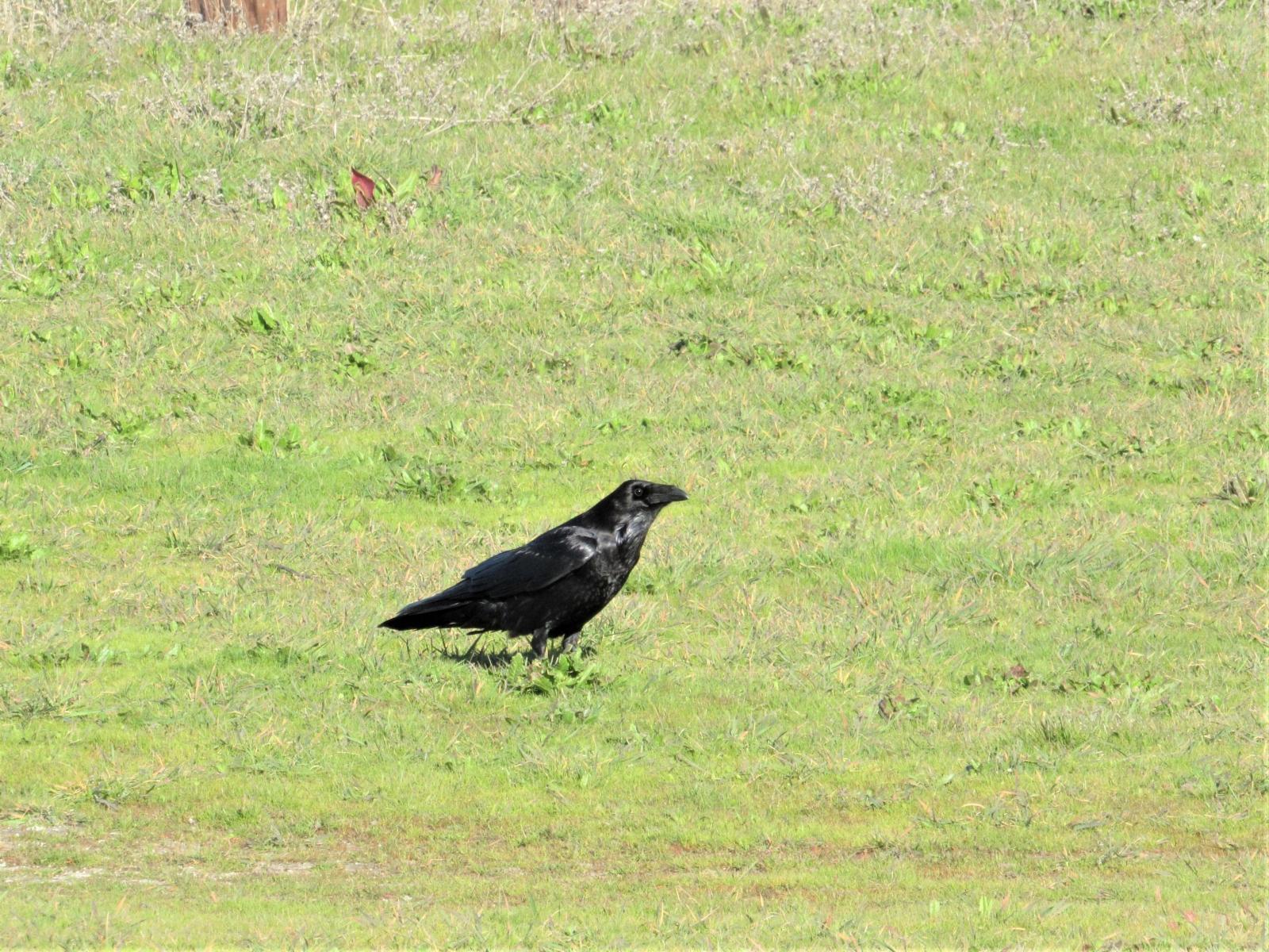 San-Gregorio-crow
