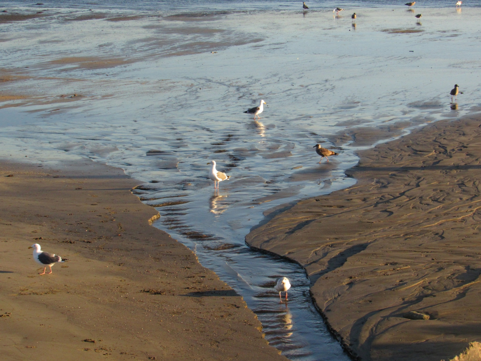 Unassuming-gulls