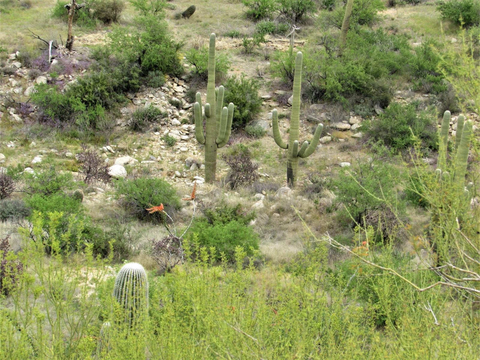 Saguaro-East-3