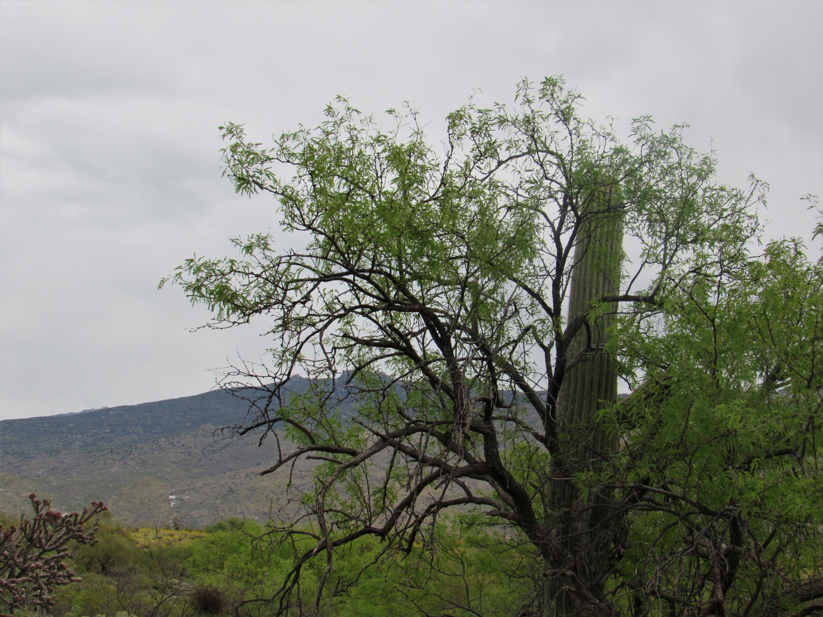 Tree-and-Saguaro-SE