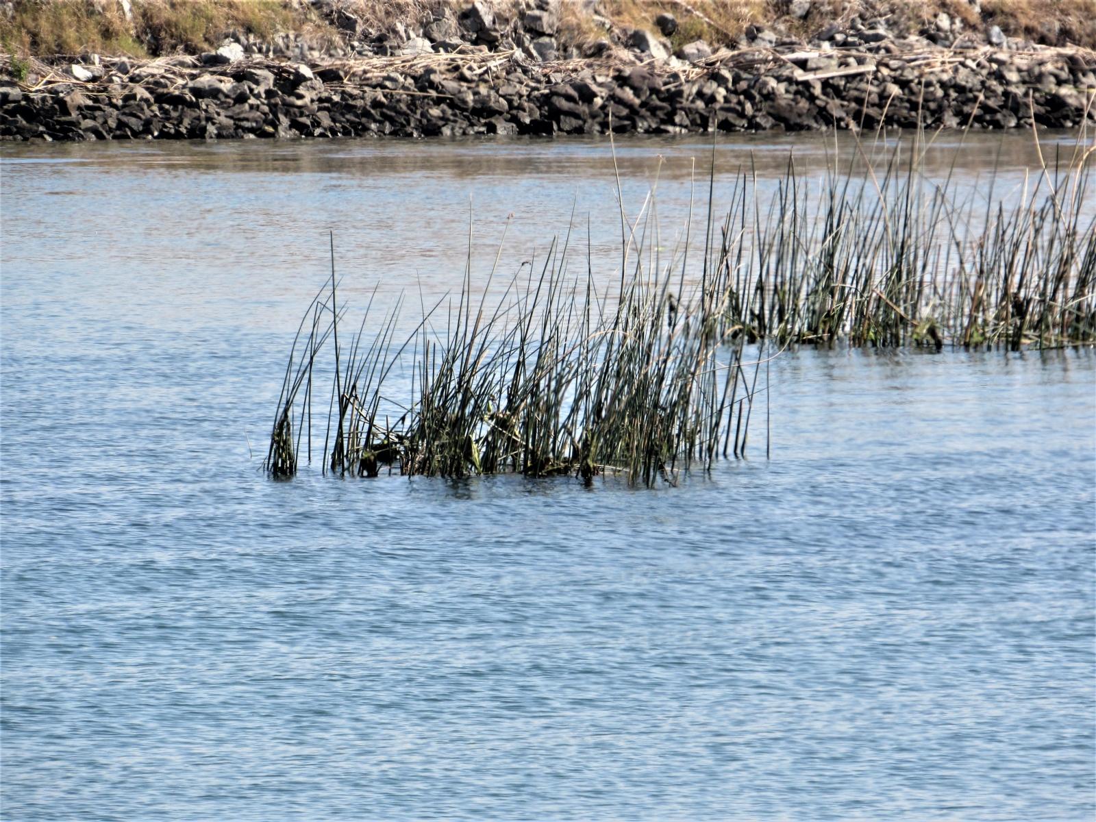 River-grass